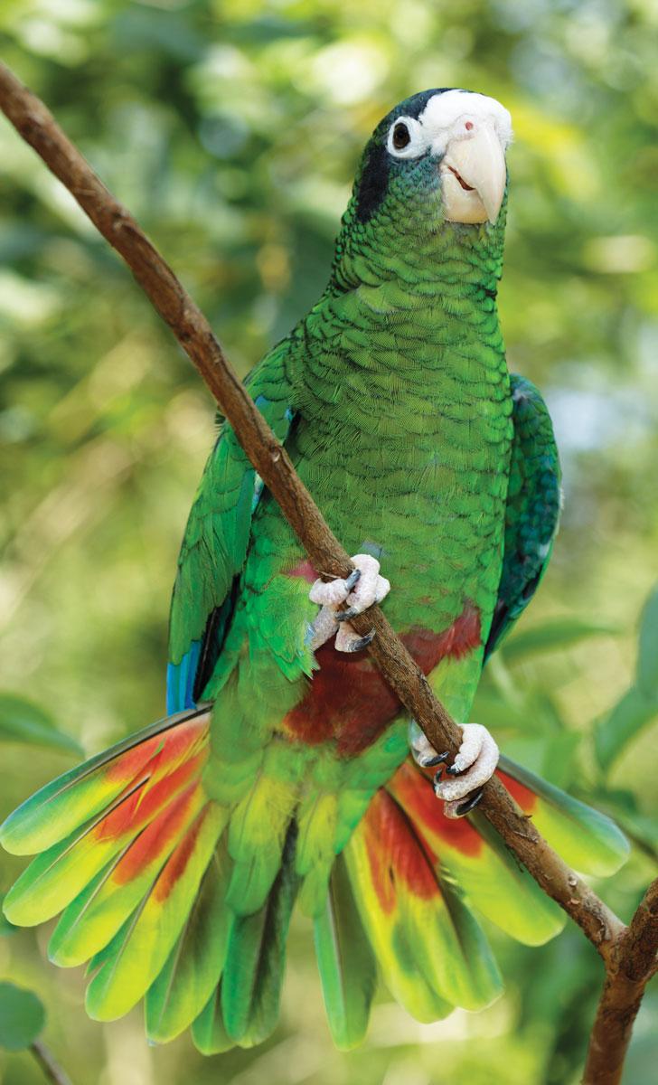 L'AMAZONE D'HISPANIOLA fait partie des 119 espèces animales en danger d'extinction dans le pays. Photographies par Eladio Fernandez