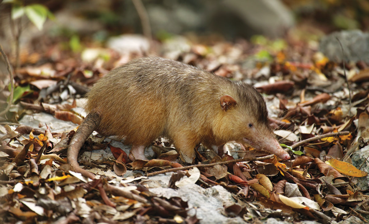 L'ALMIQUI PARADOXAL est l'un des deux seuls mammifères terrestres endémiques à Hispaniola encore présents en Haïti.