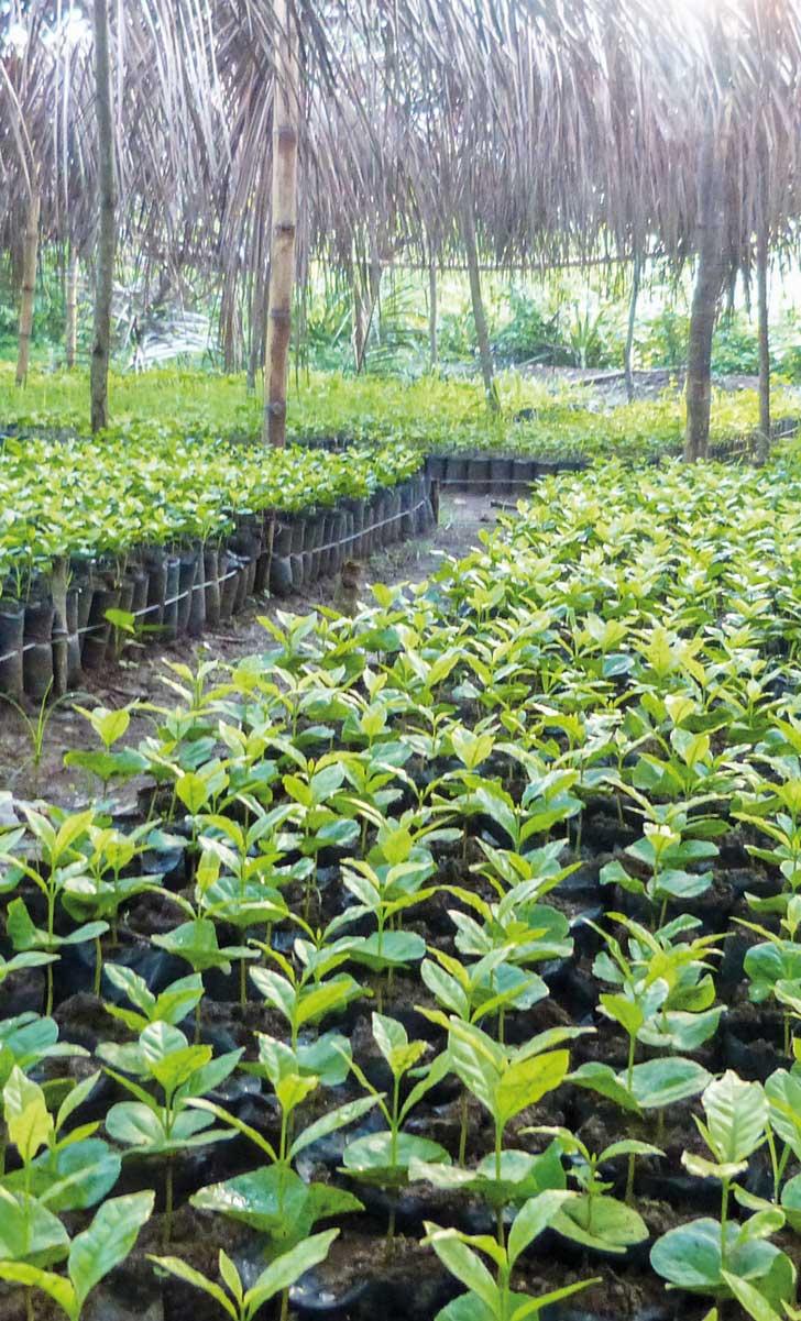 3600 PLANTULES sont nécessaires pour couvrir un hectare de caféiers.