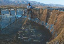 LEURS TILAPIAS se différen- cient des autres tilapias qui généra- lement sont élevés en eau douce.