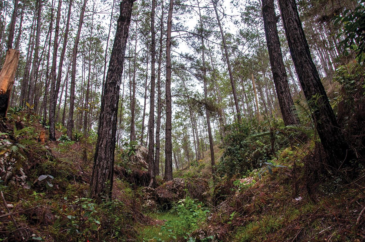 Ce qui reste de la forêt des pins autrefois très dense.