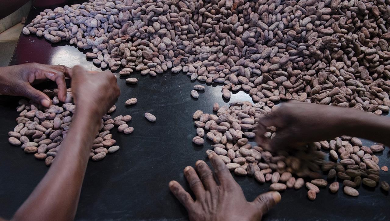 Des grains de café séchés en phase de traitement.