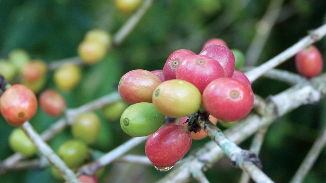 Les fruits des caféiers communément appelés cerises.